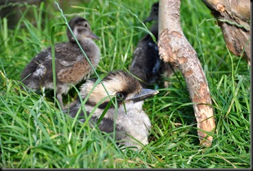 Kookie & 2 ducklings 30 Aug 10