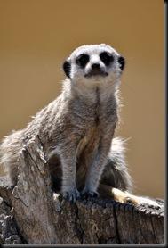 Meerkat (JB) DSC_0929