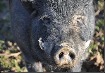 Boar at Fakenhams Nov 2010