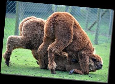 Alpacas romping DSC_1264