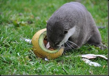 Otter peering inside melon