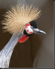 Crowned Crane (D Nordell 2010)