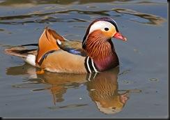 Mandarin Duck (D Nordell 2010)