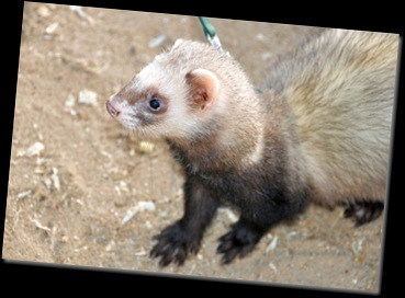 Ferret on lead Jan 11