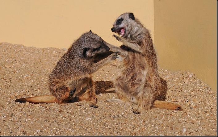 2 Meerkats - D Nordell 2010