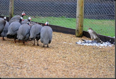Sparrowhawk being watched by Guinea Fowl flock