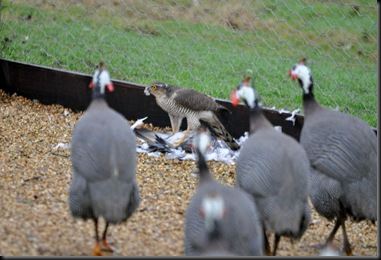 Sparrowhawk & kill surrounded by Guinea Fowl
