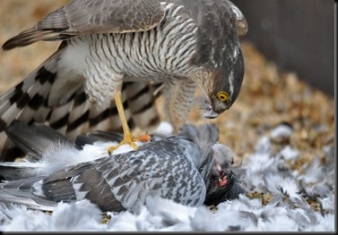 Sparrowhawk kill Feb 11