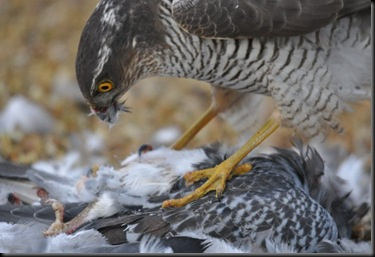 Sparrowhawk with kill Feb 11