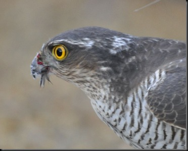Sparrowhawk head