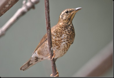 Female Siberian Thrush