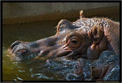 Hipopòtam