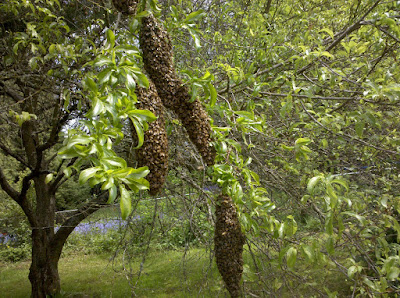 A very large swarm hanging from a tree