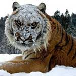 Endangered Sunday: Lions and tigers and bears in Montana