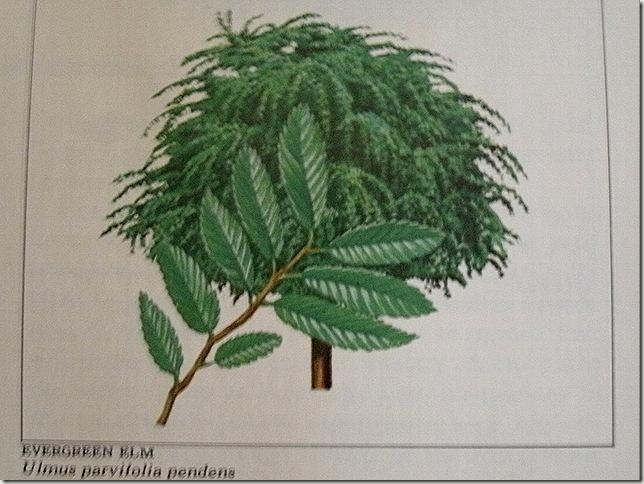 Evergreen elm