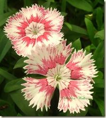 dinathus-crop