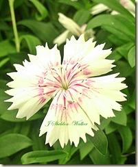 dianthus2-crop