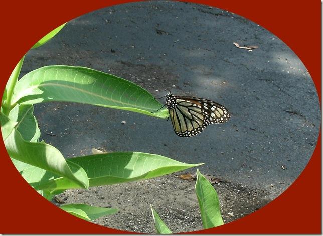 butterfly oval