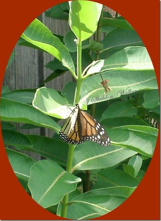 butterfly oval 1