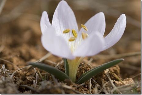 Colchicum triphyllum3