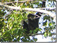 Khao Yai: Black Gibbon