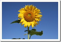 sunflowers_28