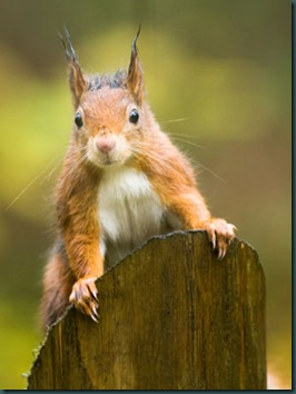 Rode_eekhoorn