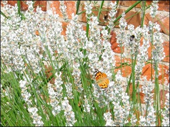 Hidcote White