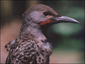 NorthernFlicker