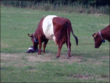 Geboorte kalf