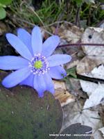 Floricica albastra