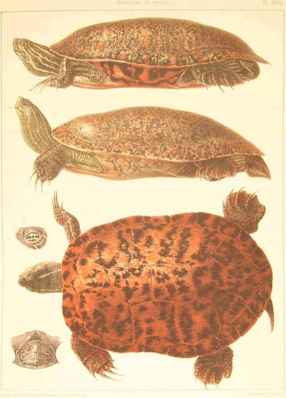 Louis Agassiz 1857 turtle 5