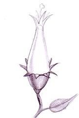 O floare - Un mugure floral ce se pregateste de inflorire desen in creion