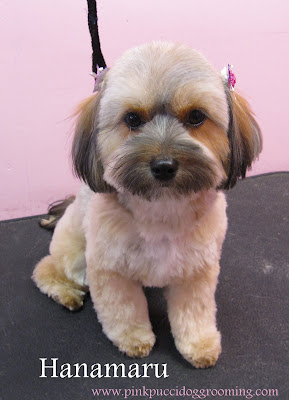 Pictures of Shorkie Haircuts http://pinkpuccidoggrooming.com/2009/12/09/hanamaru-the-shorkie-tsu/