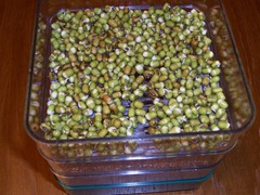 Mung beans that have been soaked over night and laid in the sprouting tray for 12 hours