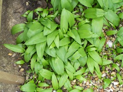Wild garlic - spread by seed