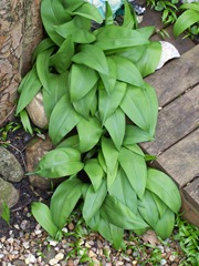 Wild garlic in a crack