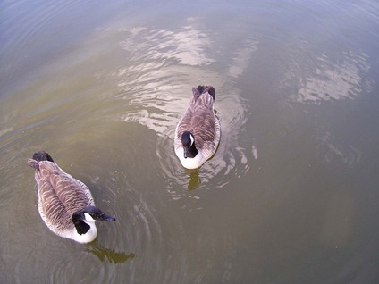 Canada geese - two-by-two