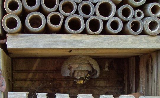 Wasp repairing nest