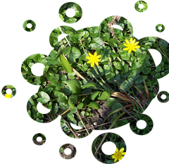celandines and wild garlic 21