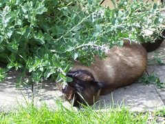 Cat high on catmint