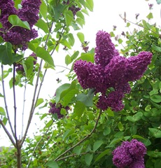 Lilac - purple