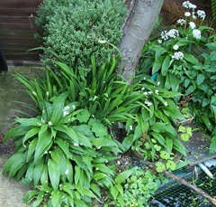 Ransoms also known as wild garlic