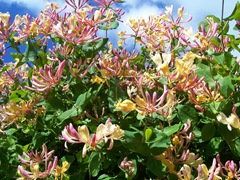 Close-up of woodbine or honeysuckle