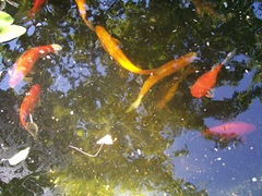 Fish in the pond - Golden Orfe, Goldfish and Golden Tench