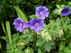 Crane's-bill - Blue geranium