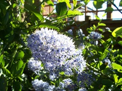 Ceanothus - England in May-June