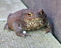 Toad showing chest