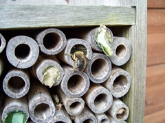 Leaf-cutter bee - scraping out a new chamber