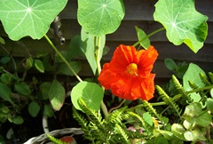 Nasturtium - the first bloom